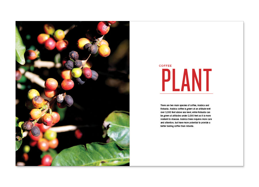 A Guide to Coffee Coffee Plant